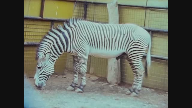 zebra at the zoo - herbivorous stock videos & royalty-free footage