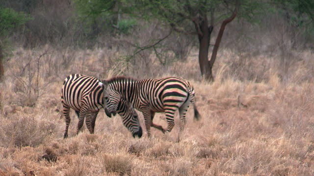 zebra, burchell's or plains, fighting, meru, kenya - kenya stock videos & royalty-free footage