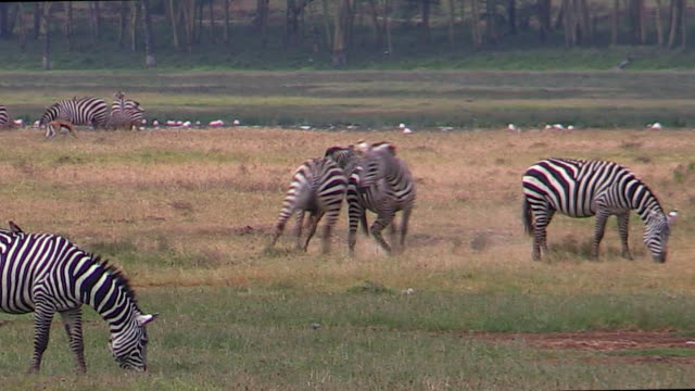 Zebra, Burchell's or Plains, fighting, Nakuru, Kenya