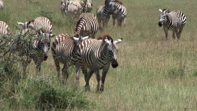 zebra, burchell's or plains, herd walks forward, kenya - steppenzebra stock-videos und b-roll-filmmaterial