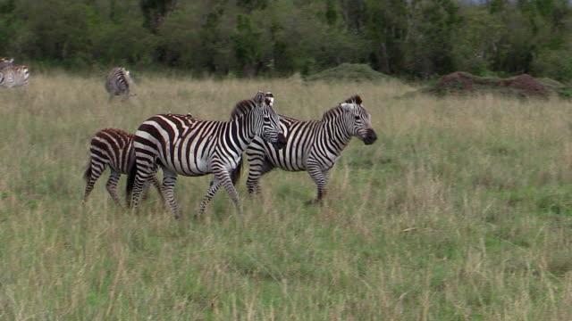 zebra, burchell's or plains, stallion herds female, kenya - stallion stock videos & royalty-free footage
