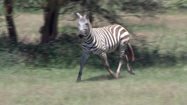 Zebra, Burchell's or Plains, trots by, Kenya