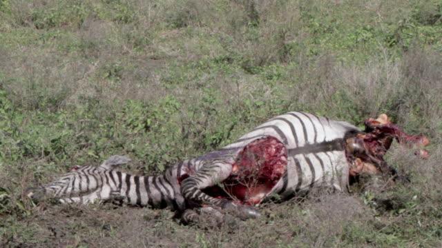zebra carcass half eaten - dead animal stock videos and b-roll footage