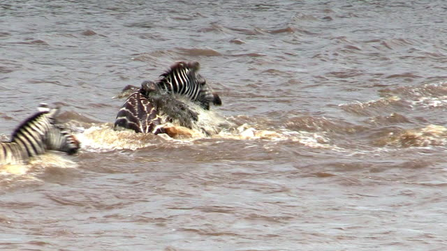 vídeos de stock, filmes e b-roll de zebra caught by nile crocodile in mara river, kenya - 1 minuto ou mais