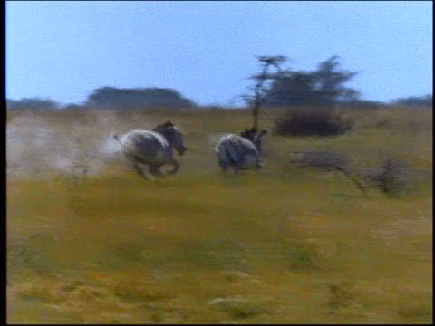 pan zebra chasing another on plain / africa - 草食性点の映像素材/bロール