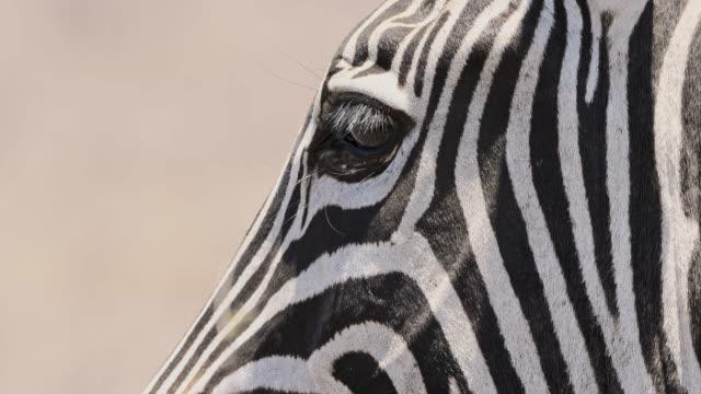 zebra hautnah - zebra stock-videos und b-roll-filmmaterial