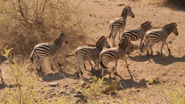 zebra hautnah - krüger nationalpark stock-videos und b-roll-filmmaterial