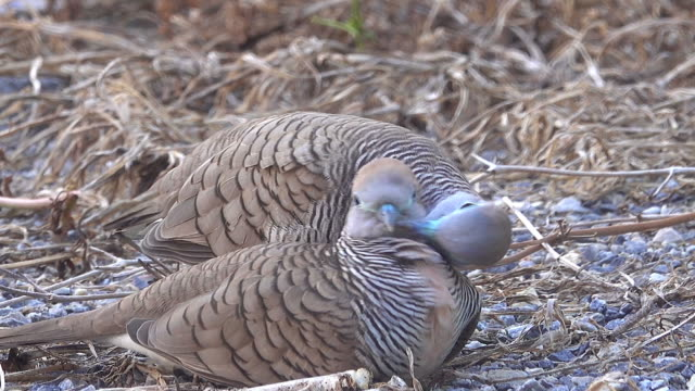 zebra dove on the dirt - parte del corpo animale video stock e b–roll