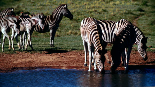 MS Zebra (Equus zebra) drinking water / Addo Elephant National Park/ South Africa
