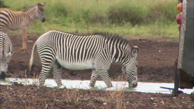 a zebra drinks water from a puddle. - zoology stock videos & royalty-free footage