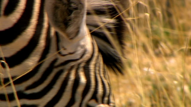 vídeos y material grabado en eventos de stock de cu of zebra eating grass/ entabeni private game reserve/ south africa - oreja animal