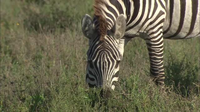a zebra eating grass on the field in serengeti national park, tanzania - シマウマ点の映像素材/bロール