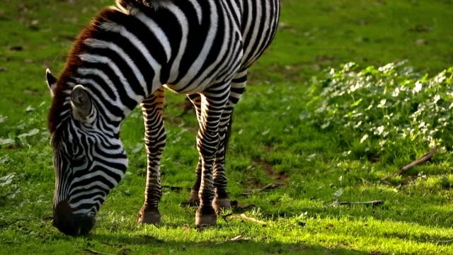 zebra eating grass - pälsteckning bildbanksvideor och videomaterial från bakom kulisserna