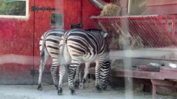 Zebra eats behind bars. The concept of protection of animal rights and freedom of quadrupeds. Zebras in the zoo behind the grid
