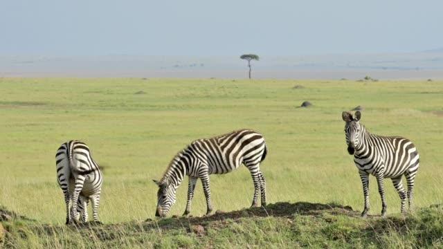 Zebra, Equus quagga, Masai Mara National Reserve, Kenya, Africa