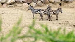 Zebra family walking on the savannah