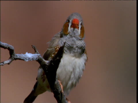 zebra finch twitters on twig perch, kings canyon, northern territory, australia - twig stock videos & royalty-free footage