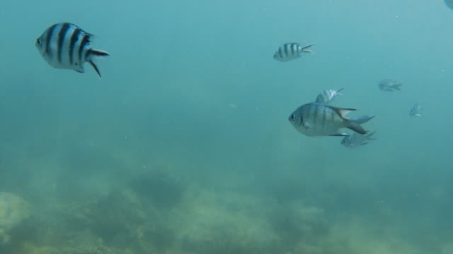 Zebra fish underwater