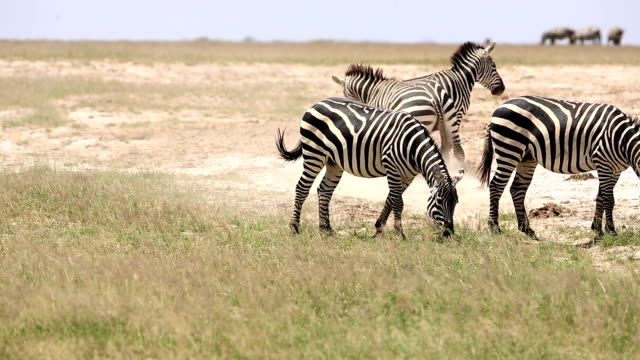 zebra flirting for mating - animal behaviour stock videos & royalty-free footage