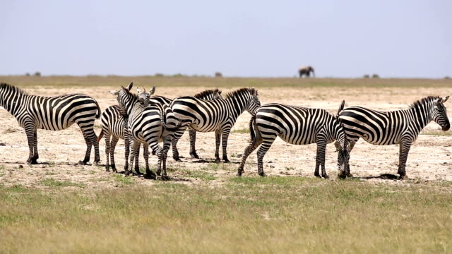 Zebra Flirting for mating