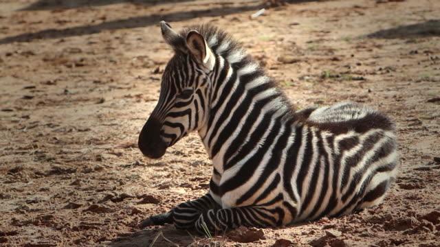 a zebra foal rests in a desert. - zebra stock-videos und b-roll-filmmaterial