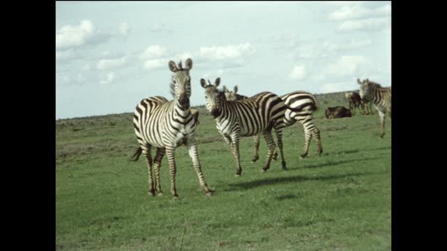 A zebra gets scared and runs.