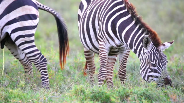 ゼブラに触れるアットサバンナ - 動物の色点の映像素材/bロール