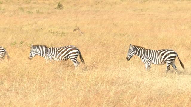 Zebra Grazing at Savannah