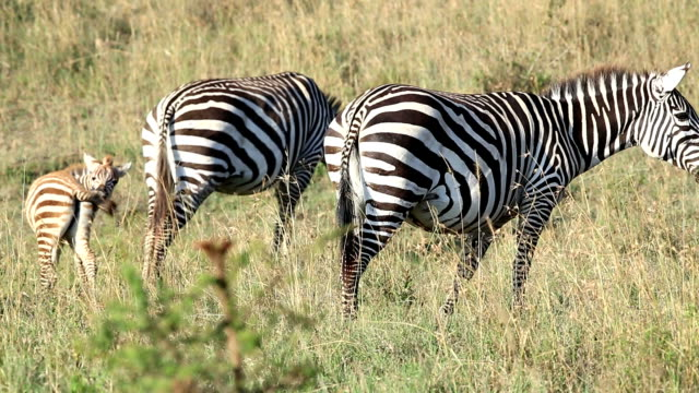 Zebra Grazing at Savannah with baby