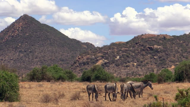 Zebra, Grevy, herd grazing, mountains in background, Samburu, Kenya