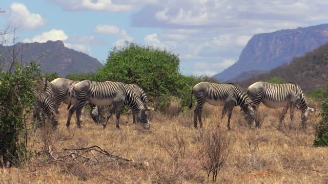 Zebra, Grevy, herd grazing with mountain background, Samburu,Kenya