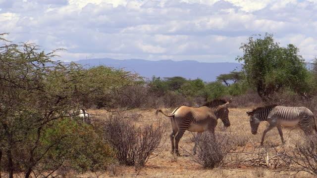 zebra, grevy, stallion rounds up herd, samburu, kenya - stallion stock videos & royalty-free footage