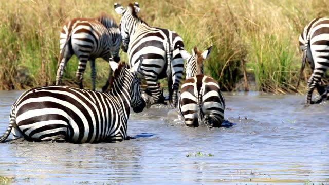 vídeos de stock, filmes e b-roll de zebra manada de beber em meros/lake - savana
