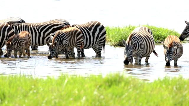 Zebra Herd Drinking in mere / lake