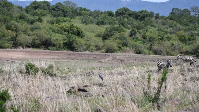 vidéos et rushes de zebra herd getting close to mara river to check the coast is clear for crossing - hippopotame