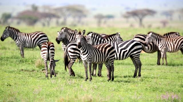 zebra-herde grasen in savannah - zebra stock-videos und b-roll-filmmaterial