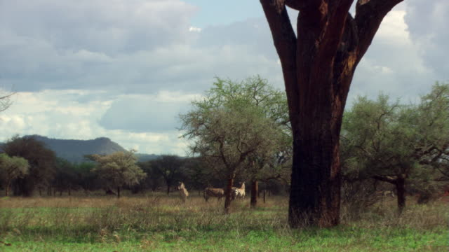 Zebra herd in distance