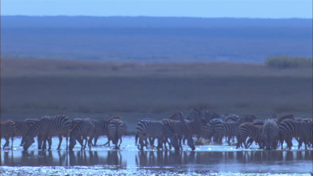 WS zebra herd in waterhole with mirror reflection from water