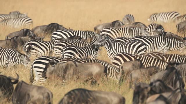 zebra-herde nad gnus grasen in savannah - zebra stock-videos und b-roll-filmmaterial