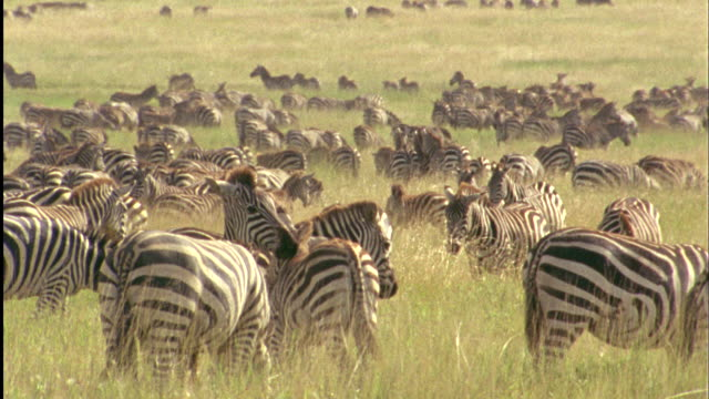 Zebra herd on plain, two zebras preen each other Available in HD.