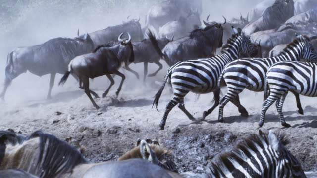 slomo zebra herd run from camera leaving one standing in river shallows which then runs away - ambush stock videos and b-roll footage