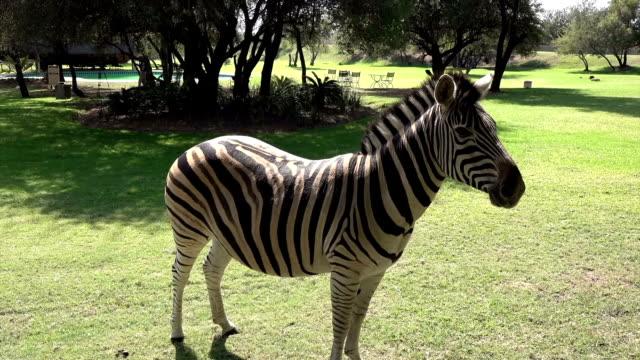 zebra in a game reserve - steppenzebra stock-videos und b-roll-filmmaterial