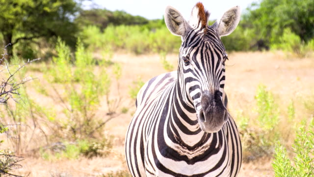 ms zo zebra in the african savannah - one animal stock videos & royalty-free footage