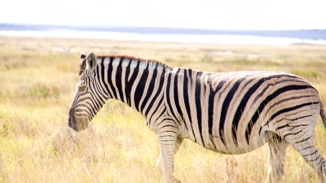 ls ts zebra in the african savannah - safari animals stock videos & royalty-free footage