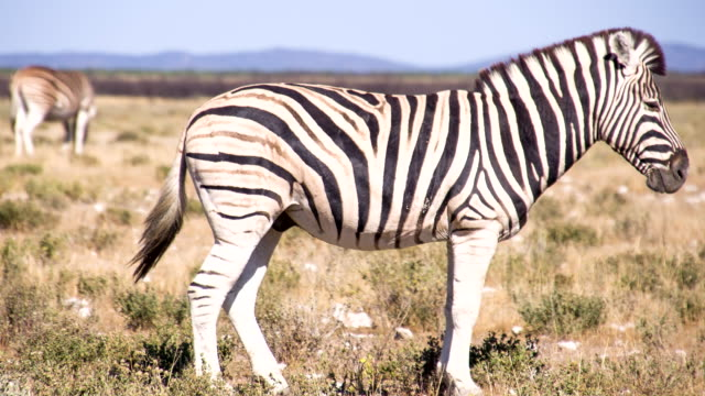 ls zebra in the african savannah - one animal stock videos & royalty-free footage