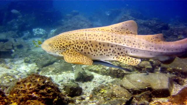 zebra leopard shark (stegostoma fasciatum) close up.  this shark has a remora (echeneidae) attached.  having recently been re-classified as an endangered species on the red list by the iucn, these graceful creatures are becoming a rare sight in the wild. - pilot fish stock videos & royalty-free footage