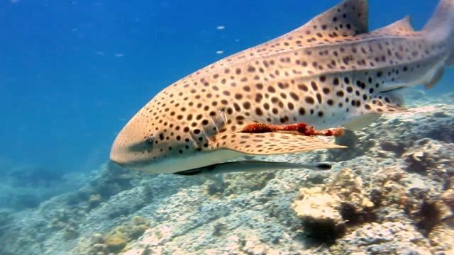 Requin léopard (Stegostoma fasciatum) se bouchent.  Ce requin a une Remora (Echeneidae) attaché.  Ayant récemment été reclassé comme une espèce menacée sur la liste rouge de l'UICN, ces créatures gracieuses deviennent un spectacle rare à l'état sauvage.