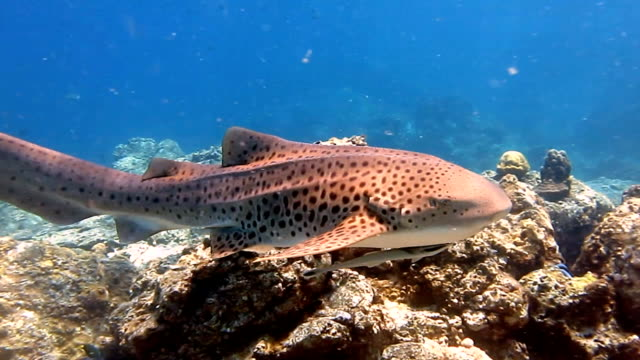Zebra Leopard Shark (Stegostoma fasciatum) swimming.  This shark has a Remora (Echeneidae) attached.  Having recently been re-classified as an Endangered Species on the Red list by the IUCN, these graceful creatures are becoming a rare sight in the wild.
