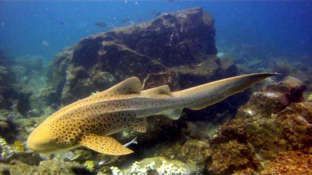 zebra leopard shark (stegostoma fasciatum) swimming.  this shark has a remora (echeneidae) attached.  having recently been re-classified as an endangered species on the red list by the iucn, these graceful creatures are becoming a rare sight in the wild. - pilot fish stock videos & royalty-free footage