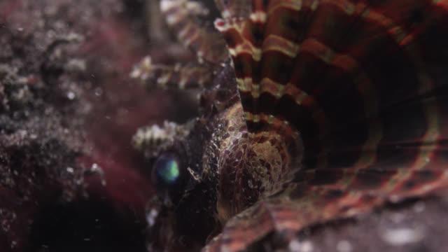 zebra lionfish (dendrochirus zebra) on reef, sulawesi, indonesia - bristle animal part stock videos and b-roll footage